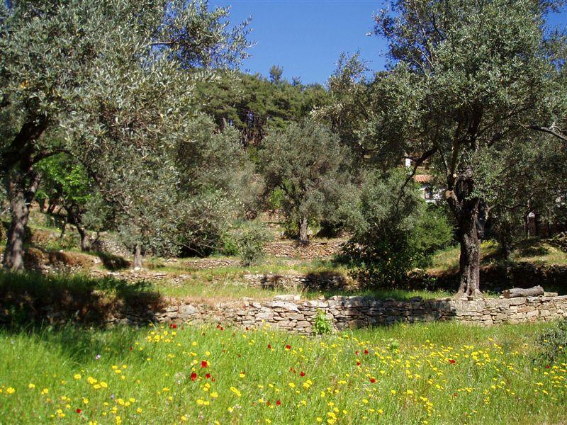 Olivenhain Kastanias