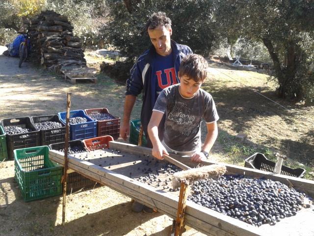 Grüne Oliven zum Einlegen